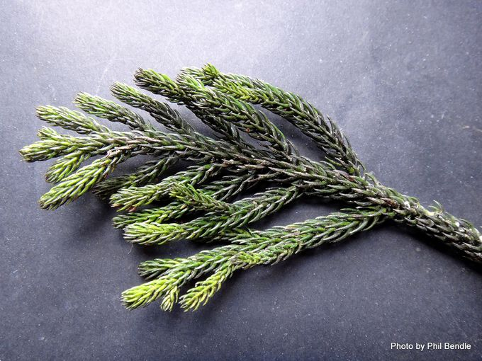 Araucaria cunninghamii Hoop pine-002.JPG