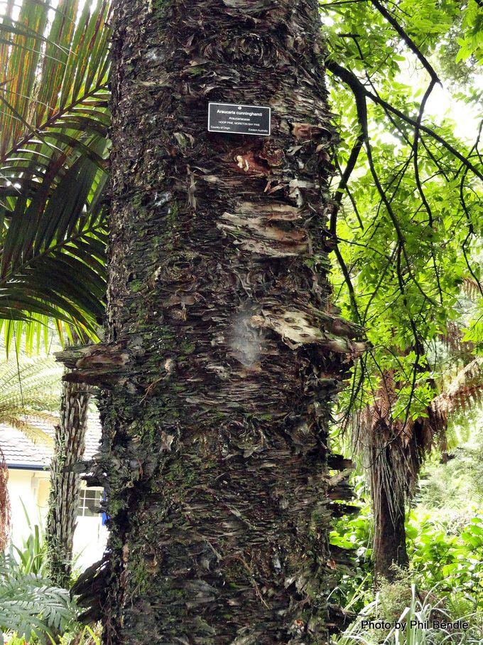 Araucaria cunninghamii Hoop pine.JPG
