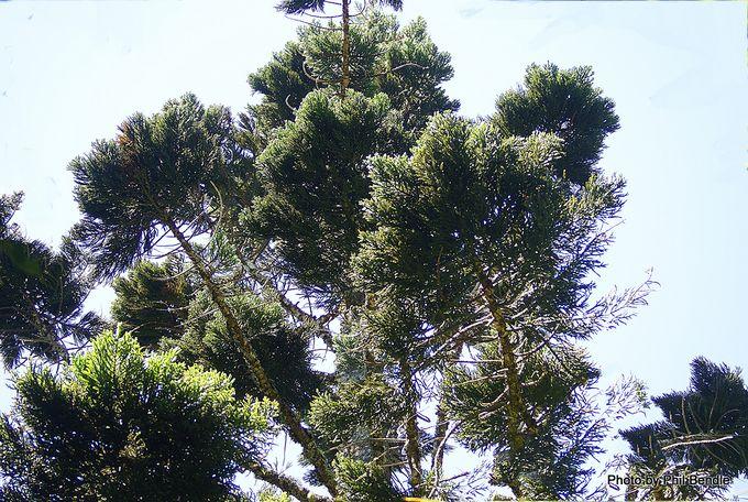 Araucaria cunninghamii Hoop pine -004.JPG