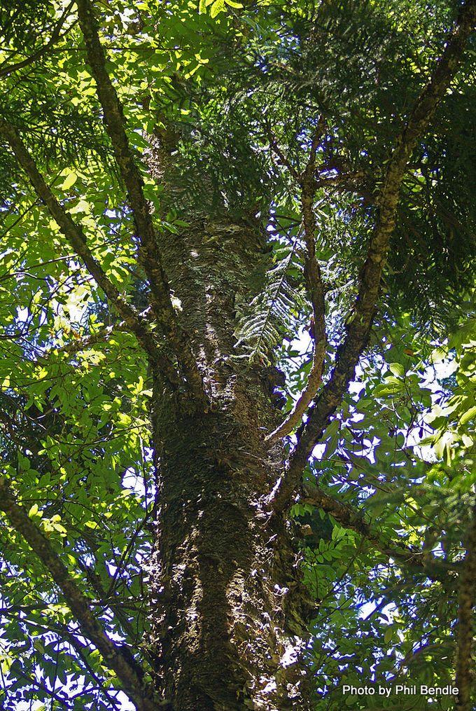 Araucaria cunninghamii Hoop pine -006.JPG