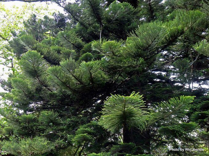 Araucaria heterophylla Norfolk Pine -001.JPG