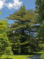 Phil Bendle Collection:Araucaria heterophylla (Norfolk Pine)