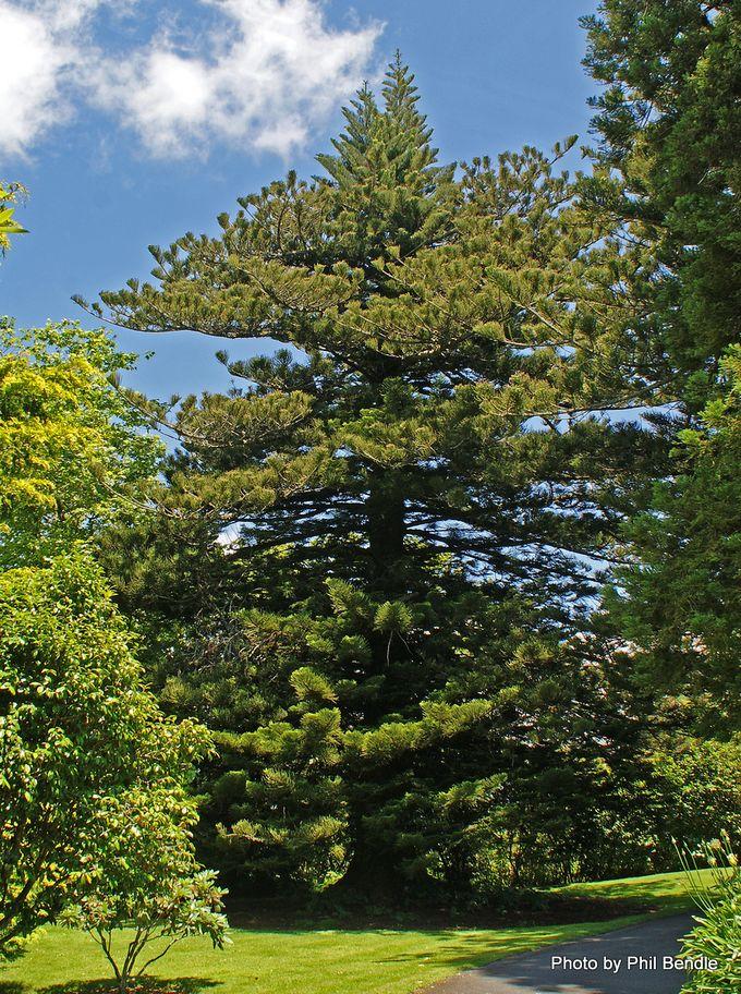 Araucaria heterophylla Norfolk Pine -002.JPG
