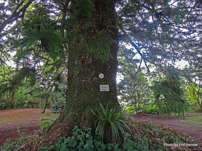 Araucaria heterophylla Norfolk pine-002.JPG