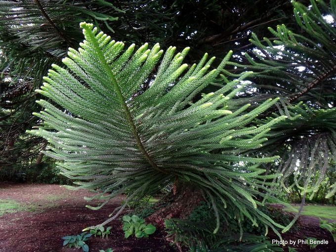 Araucaria heterophylla Norfolk pine-003.JPG