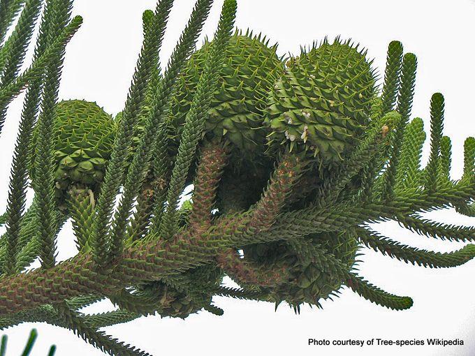 Araucaria heterophylla cones.jpg