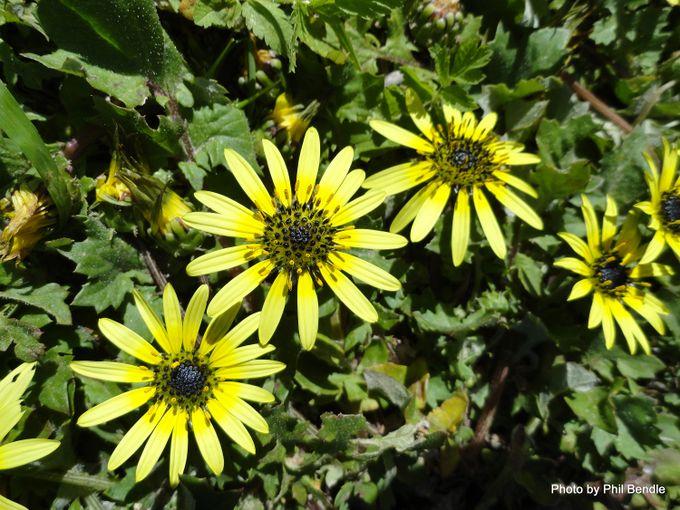 Arctotheca calendula Cape weed-005.JPG