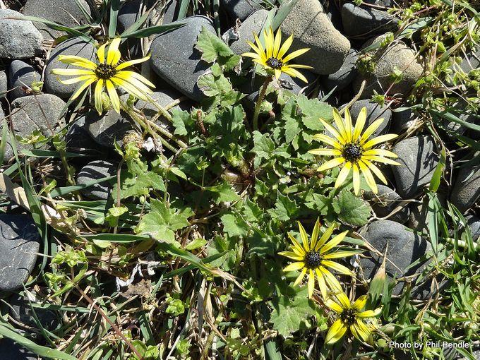 Arctotheca calendula Cape weed.JPG