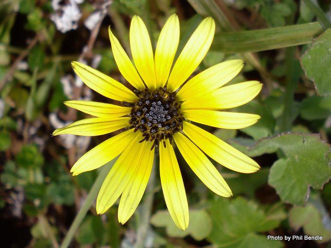 Arctotheca calendula Cape weed -3.JPG