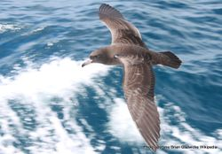Phil Bendle Collection:Shearwater (Flesh-footed) Ardenna carneipes