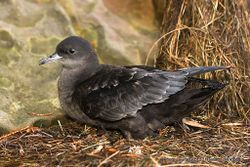 Phil Bendle Collection:Shearwater (Short tailed) Ardenna tenuirostris