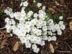 Phil Bendle Collection:Arenaria montana (Mountain sandwort)
