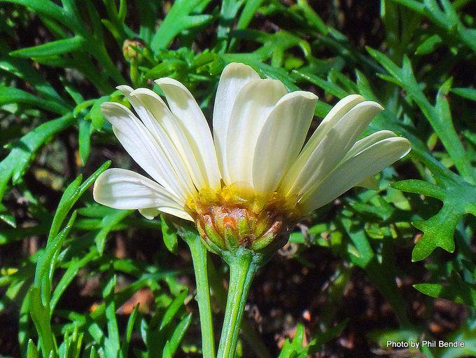 Argyranthemum frutescens-003.JPG