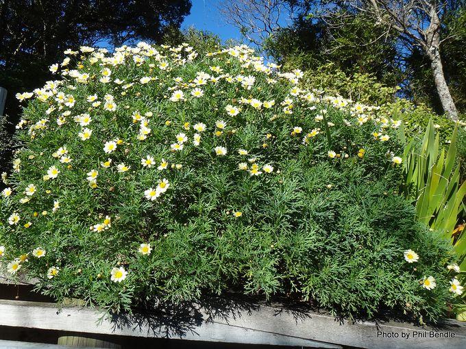 Argyranthemum frutescens.JPG