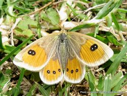 Phil Bendle Collection:Common tussock butterfly (Argyrophenga antipodum)