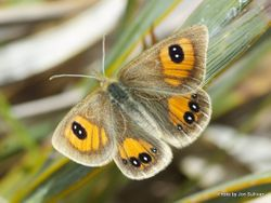Phil Bendle Collection:Janita s Tussock butterfly (Argyrophenga janitae)