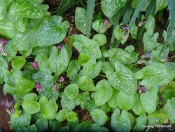 Phil Bendle Collection:Arisarum vulgare (Friar s Cowl)
