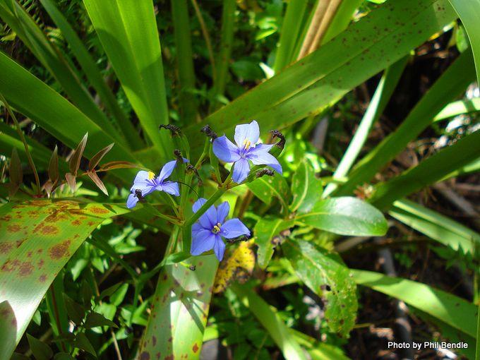 Aristea Wild iris Aristea ecklonii-22.JPG