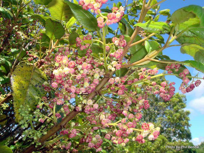 Aristotelia serrata wineberry-001.JPG