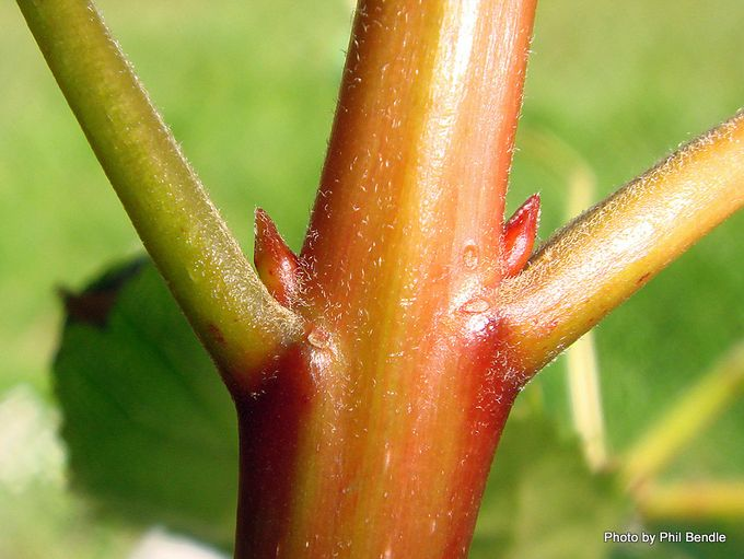Aristotelia serrata wineberry-003.JPG
