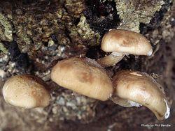 Phil Bendle Collection:Armillaria novae-zelandiae (Honey Mushroom)