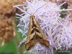 Phil Bendle Collection:Diasemia grammalis (Arrowhead moth)