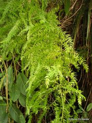 Phil Bendle Collection:Asparagus scandens (Asparagus fern)