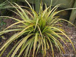 Phil Bendle Collection:Astelia fragrans (Bush lily)