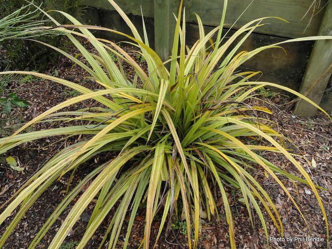 Astelia fragrans bush lily-001.JPG