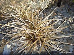 Phil Bendle Collection:Astelia graminea
