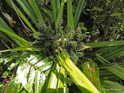 Phil Bendle Collection:Astelia grandis (Swamp Astelia)