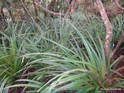 Phil Bendle Collection:Astelia nervosa (Mountain Astelia)