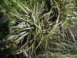 Phil Bendle Collection:Astelia nivicola var. nivicola