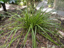 Phil Bendle Collection:Astelia trinervia (Kauri grass)