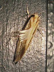 Phil Bendle Collection:Atomotricha sordida (Sickle moth)