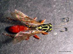 Phil Bendle Collection:Wasp (Ichneumonid) Aucklandella conspirata