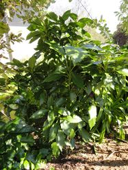 Phil Bendle Collection:Aucuba japonica cultivar (Japanese laurel 'Forest Green