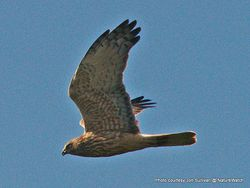 Phil Bendle Collection:Australasian Harrier (Circus approximans)