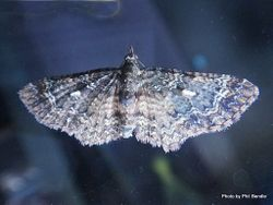 Phil Bendle Collection:Chloroclystis filata (Australian pug moth)