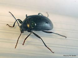 Phil Bendle Collection:Beetle (Darkling) Amarygmus spp
