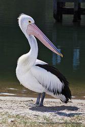 Phil Bendle Collection:Pelican (Australian) Pelecanus conspicillatus