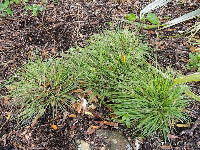 Australopyrum calicis subsp calcis Limestone wheatgrass-001.JPG