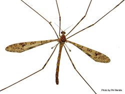Phil Bendle Collection:Cranefly (Austrolimnophila argus)