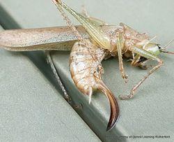 Phil Bendle Collection:Katidid (Olive-green Coastal) Austrosalomona falcata