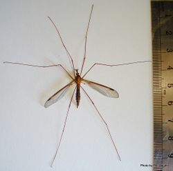 Phil Bendle Collection:Cranefly (Giant) Austrotipula hudsoni