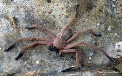 Phil Bendle Collection:Avondale spider (Delena cancerides) Huntsman