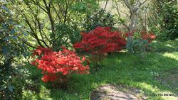 Phil Bendle Collection:Azaleas species