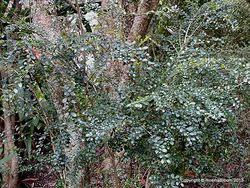 Phil Bendle Collection:Azara microphylla (Vanilla tree)