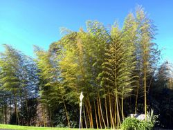 Phil Bendle Collection:Phyllostachys species (Bamboo) Exotic
