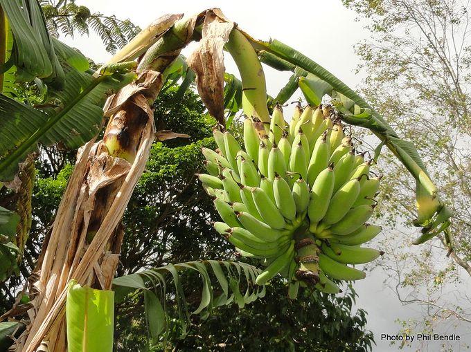 Banana Lady Finger Musa acuminata.JPG